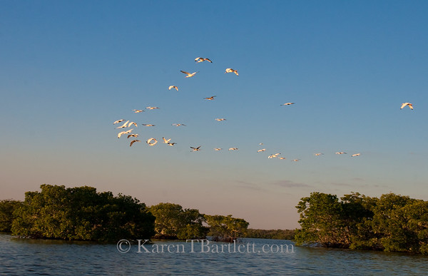 9119 Ibis coming home to roost at sunset in the Ten Thousand Islands