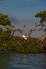 9080 Great Egret on a mangrove island in the Ten Thousand Islands