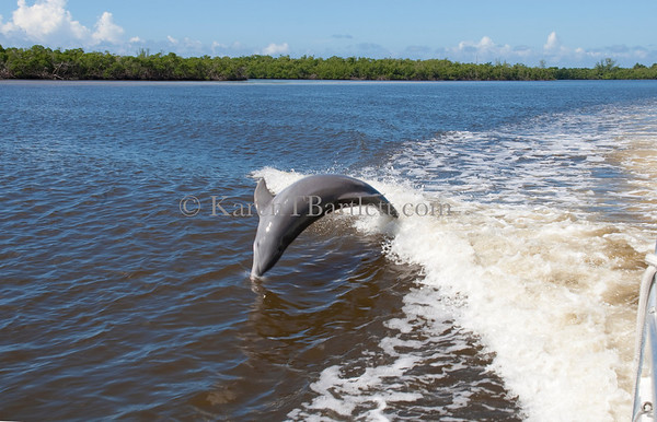 2517 Dolphin following a boat in the Ten Thousand Islands