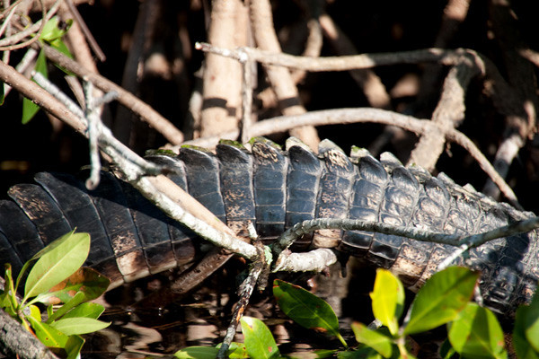 9517 Gator in the Mangroves