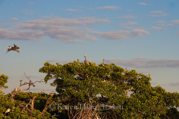 9075 Pelicans come home to roost in their rookery in the Ten Thousand Islands