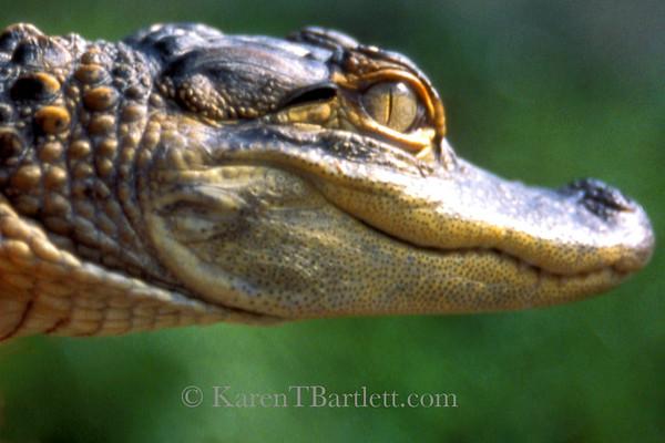 s92 Baby Alligator
