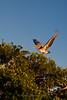 9135 Pelican roosting in mangroves
