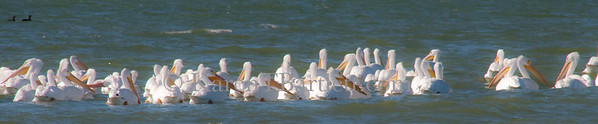 8975 White Pelicans in the Everglades