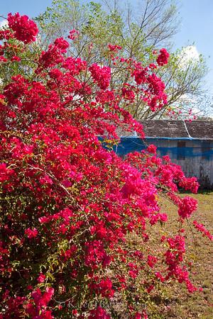 0008 Island Colors - Bougainvillea and a weathered shed