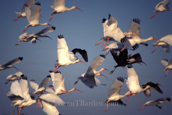 s16 Ibis in Flight