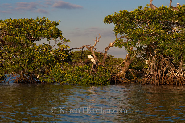 9085 Mangrove rookery in the Ten Thousand Islands