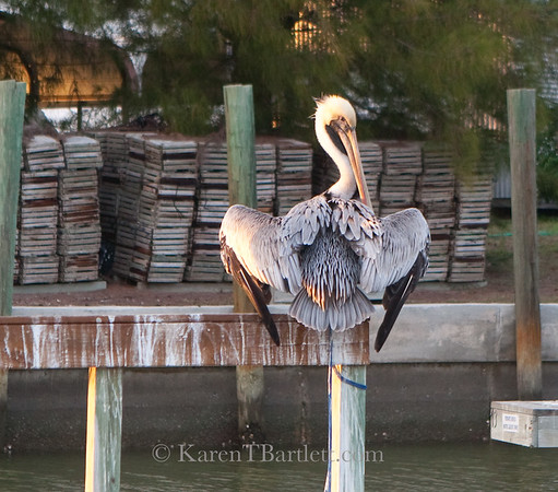 8862 Pelican and Stone Crab Traps