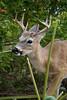 IMG_7190 Key Deer