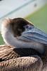 6912 Pelican