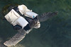 """8496 """"Quasimodo"""" a rescued Kemps Ridley sea turtle at Theater of the Sea (Islamorada FL) can swim, thanks to a  custom-made  flotation device . Theater of the Sea is an Old Florida Keys roadside attraction on Highway 1."""