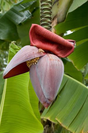 7025 Banana Blossom