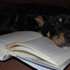 """This is Blue reading the new Rin Tin Tin book. Oogy made him cry so he prefers happier books."" Judith W. via. email."