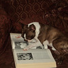 """Irk Hameed, the most intelligent Boston Terrier ever, is fully engrossed in his Encyclopaedia Britannica."" from Zarina H. via Facebook."