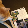 """'Do you see the tricks I can do?' Kobe reading The Complete Shiba Inu by Maureen Atkinson."" from Amanda D. via email."