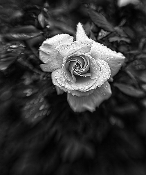 Rose after the rain