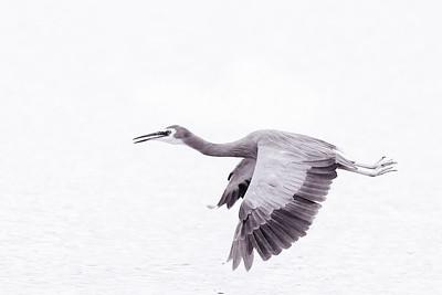 Getaway Heron