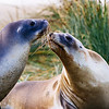 Playful Sea Lions