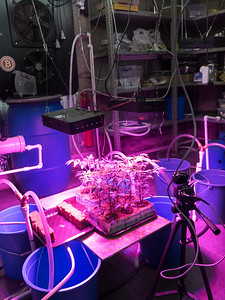 A hydroponic tomato-growing experiment constructed by bitcoin miner Shota Siradze to harness heat from his bitcoin mining operation. Ten plants, four different tomato varieties, all grown from seed. Tbilisi, Republic of Georgia. Photo: Joe Harrison.