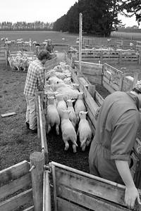 sheep.lincoln11-1382