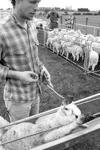 sheep.lincoln11-1054