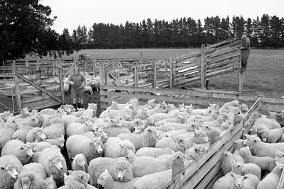 sheep.lincoln11-1409