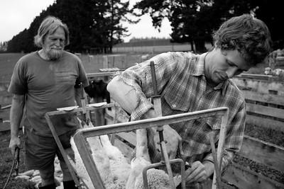 sheep.lincoln11-1403