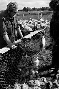 sheeplincoln9.11.jh-0831