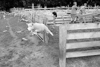 sheep.lincoln11-1456
