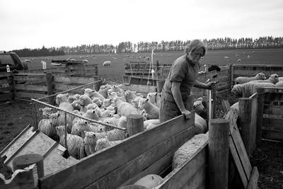 sheep.lincoln11-1444