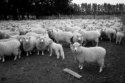 sheep.lincoln11-1339