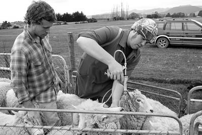 sheep.lincoln11-1045