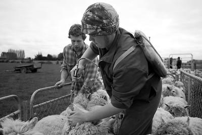 sheep.lincoln11-1033