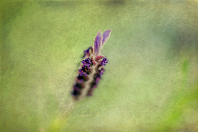 Purple Coming Through