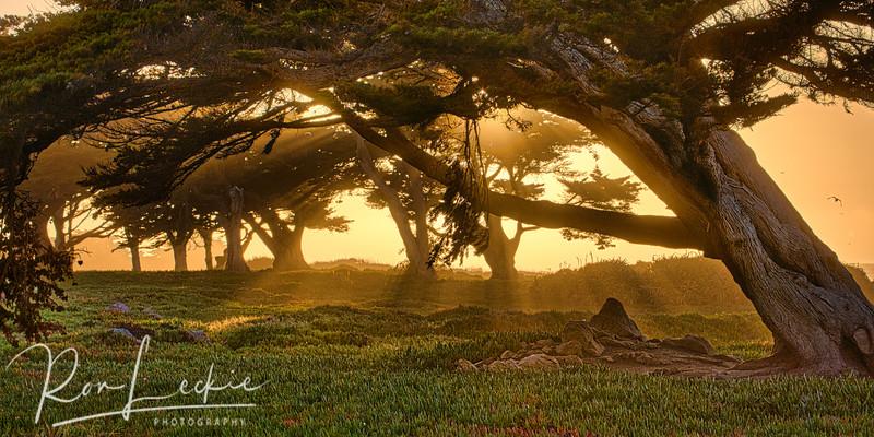 Cypress Grove At Dusk