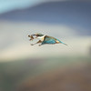 Kingfisher in flight with a crab