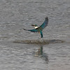 Kingfisher in flight with a crab - 2