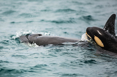 Baby orca is riding for fun on the back of his mother.   Part of a pod of 5/6 orca.