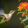 Female Ruby-throated Hummingbird on Lantana