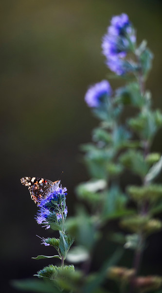 A painted lady butterfly rests on a flower in the America the Beautiful park in Colorado Springs, Colo. on Tuesday, Oct. 3, 2017. <br /> <br /> (The Gazette, Nadav Soroker)