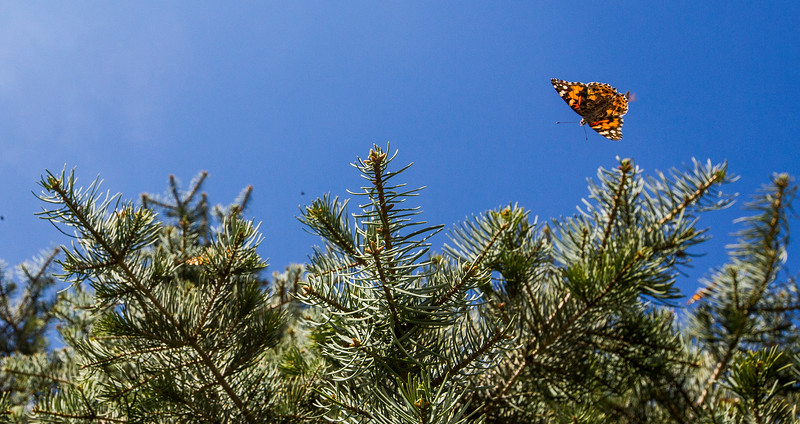 A painted lady butterfly lands on a tree in the America the Beautiful park in downtown Colorado Springs, Colo. on Tuesday, Oct. 3, 2017. <br /> <br /> (The Gazette, Nadav Soroker)