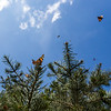 Painted Lady butterflies flit around a tree in the America the Beautiful park in Colorado Springs, Colo. on Tuesday, Oct. 3, 2017. <br /> <br /> (The Gazette, Nadav Soroker)