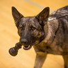Amp, a German Shepard, is the only police dog dedicated to a school district in Colorado at Fountain Middle School in Fountain, Colo. Photographed on Tuesday, Oct. 10, 2017.<br /> <br /> (The Gazette, Nadav Soroker)
