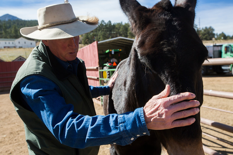 Glenn Ryan runs his hand down Skid's nose at the AG Ranch in Bailey, Colo. on Tuesday, Oct. 24, 2017. Skid is one of 11 mules that Ryan manages for the U.S. Forest Service, including bringing them to jobs as far away as South Dakota's Black Hills.<br /> <br /> <br /> (The Gazette, Nadav Soroker)