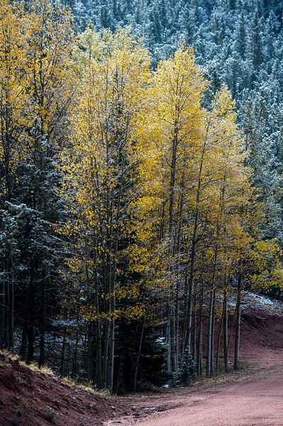 Aspens change into a vibrant yellow along Gold Camp Road on Tuesday, Sept. 26, 2017. <br /> <br /> (The Gazette, Nadav Soroker)