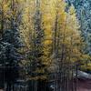 Aspens change into a vibrant yellow along Gold Camp Road on Tuesday, Sept. 26, 2017. <br /> <br /> (The Gazette, Nadav Soroker)