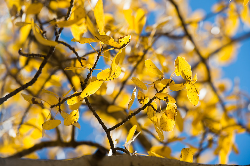 Aspen leaves change into a bright yellow along Gold Camp Road on Tuesday, Sept. 26, 2017. <br /> <br /> (The Gazette, Nadav Soroker)
