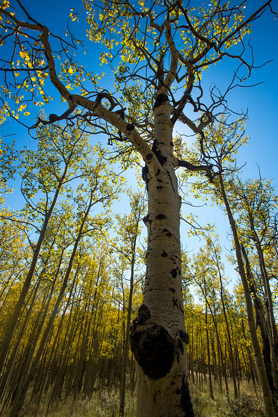 The sun shines around a gnarly aspen near Victor, Colo. on Tuesday, Sept. 26, 2017. <br /> <br /> (The Gazette, Nadav Soroker)