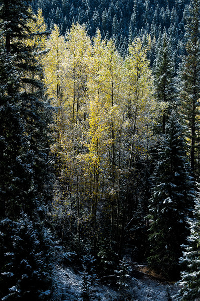A copse of frosted aspens change into a vibrant gold along Gold Camp Road on Tuesday, Sept. 26, 2017. <br /> <br /> (The Gazette, Nadav Soroker)
