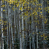 Aspens change into a vibrant gold along Gold Camp Road in the mountains on Tuesday, Sept. 26, 2017. <br /> <br /> (The Gazette, Nadav Soroker)